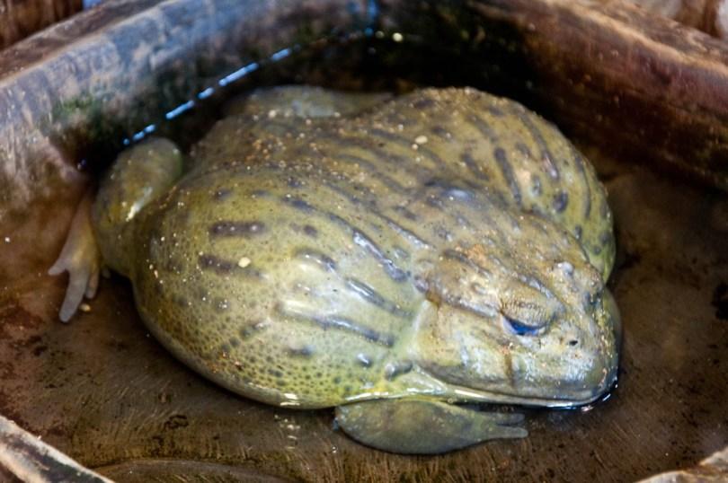African bullfrog, Esapolis, Padua, Veneto, Italy - www.rossiwrites.com