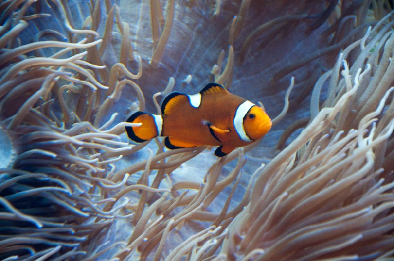 Clownfish, Esapolis, Padua, Veneto, Italy - www.rossiwrites.com