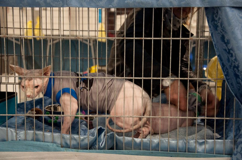 Egyptian sphynx cats having their jumpers put on, Golden Cat Show, Vicenza, Italy www.rossiwrites.com