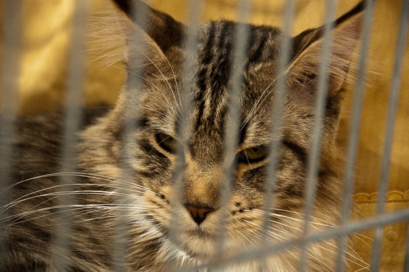Maine Coon cat, Golden Cat Show, Vicenza, Italy www.rossiwrites.com