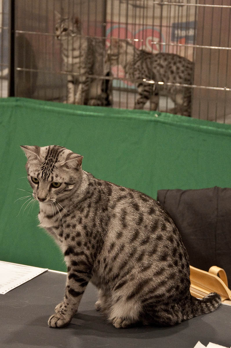 On the desk of the judge, Golden Cat Show, Vicenza, Italy www.rossiwrites.com