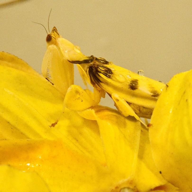 Orchid mantis, Esapolis, Padua, Veneto, Italy - www.rossiwrites.com