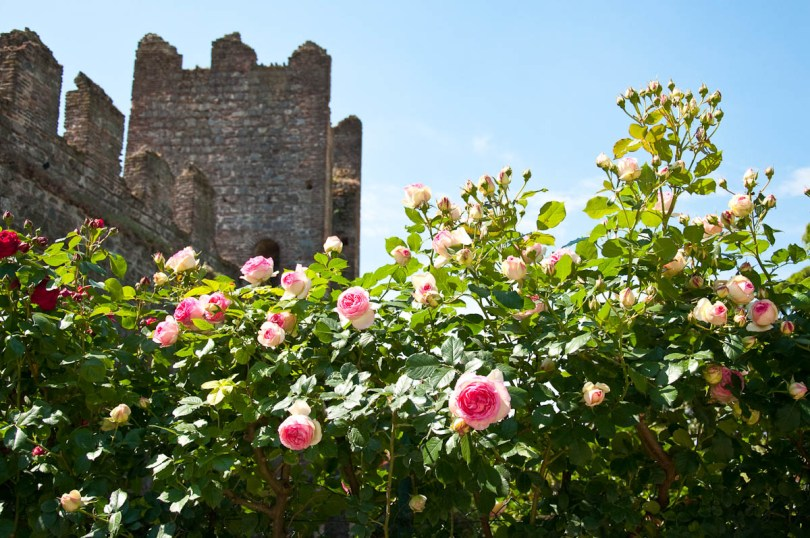 Rose fence, Medieval castle, Este, Veneto, Italy - www.rossiwrites.com