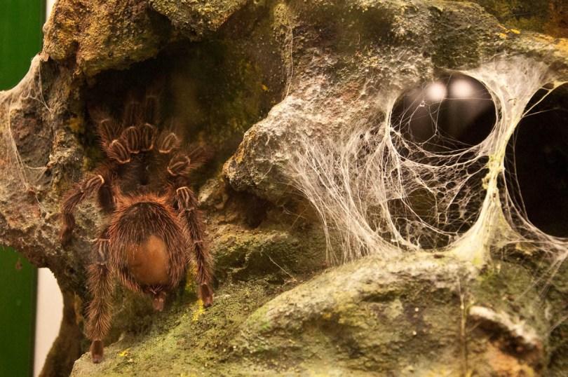 Tarantula and a cobweb, Esapolis, Padua, Veneto, Italy - www.rossiwrites.com