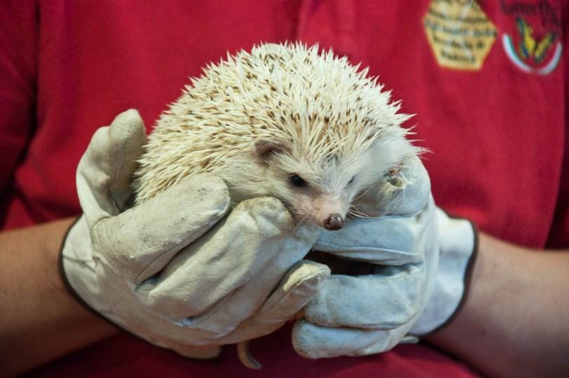 White African hedgehog, Esapolis, Padua, Veneto, Italy - www.rossiwrites.com