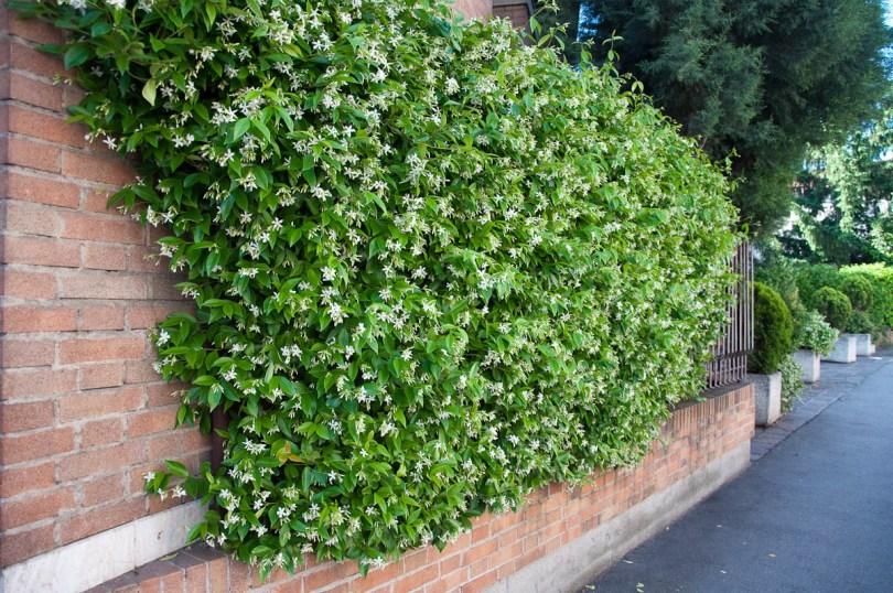 Wild jasmine shrub fence, Vicenza, Italy