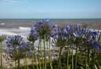 Allium in bloom, Castlehaven Caravan Park, Isle of Wight, UK - www.rossiwrites.com