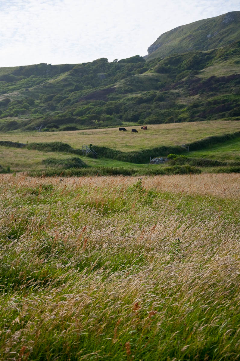Grass in the wind with cows in the distance, Isle of Wight, UK - www.rossiwrites.com
