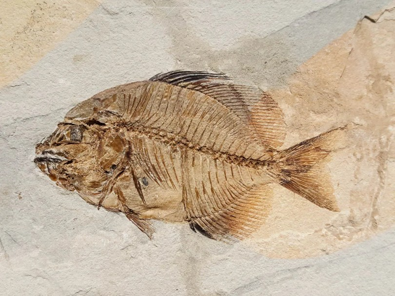 A fish fossil, The Fossil Museum, Bolca, Province of Verona, Italy - rossiwrites.com