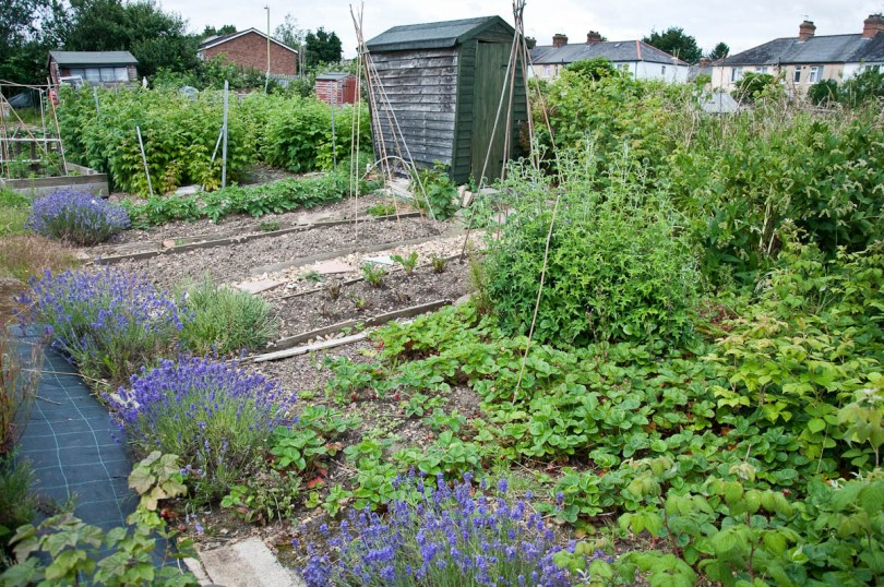 An allotment with a wooden shed and a lavender border, England - www.rossiwrites.com
