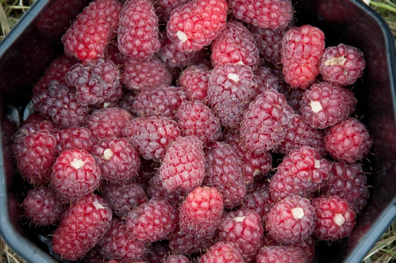 Picked loganberries, England - www.rossiwrites.com