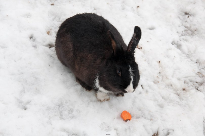 A bunny and its carrot in the snow - Parco Querini, Vicenza, Veneto, Italy - www.rossiwrites.com