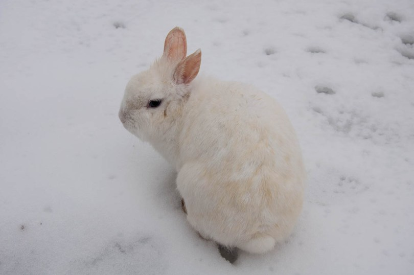 A white bunny in the snow in Parco Querini - Vicenza, Veneto, Italy - www.rossiwrites.com