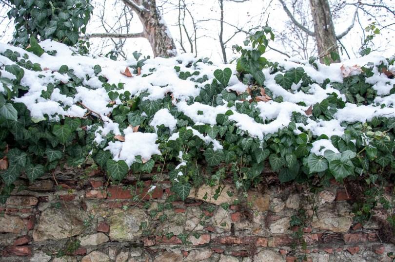 Snow on a creeper plant - Parco Querini, Vicenza, Veneto, Italy - www.rossiwrites.com