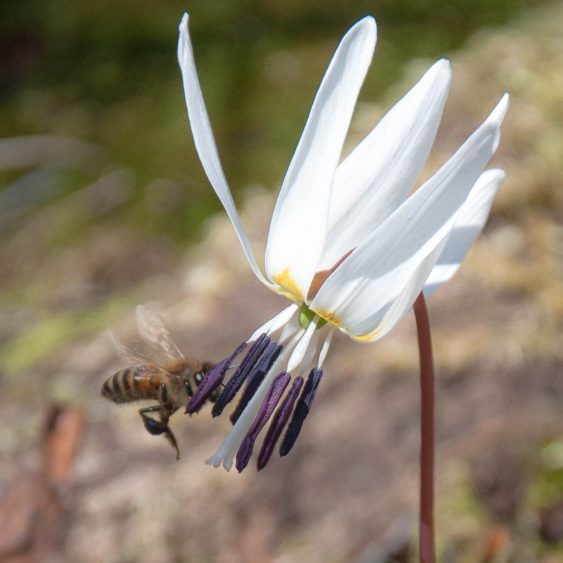 A bee on a white flower - Colli Berici, Vicenza, Italy - www.rossiwrites.com