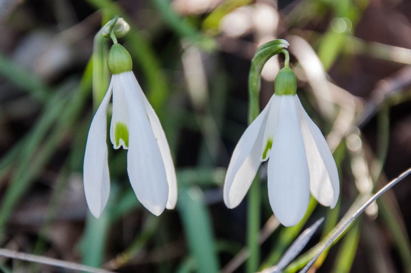 A couple of snowdrops - Colli Berici, Vicenza, Italy - www.rossiwrites.com