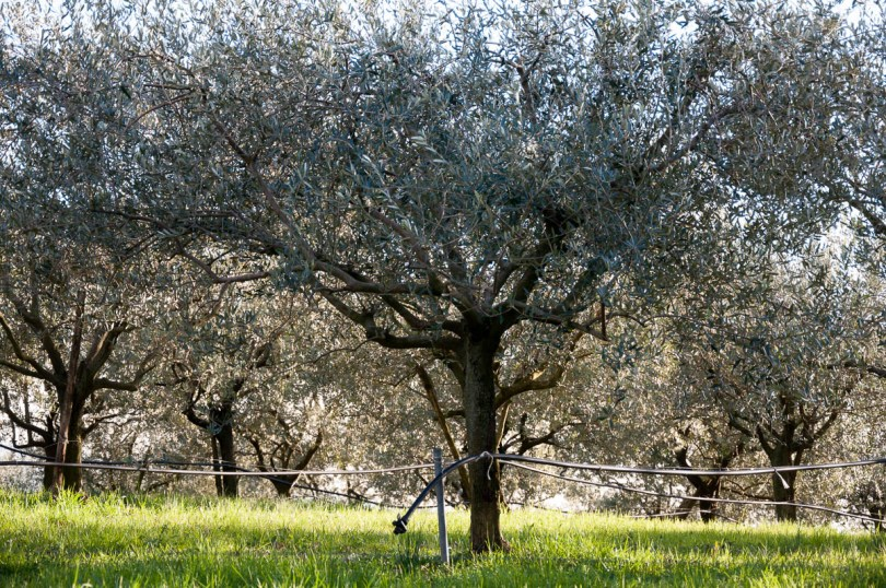 Olive groves - Colli Berici, Vicenza, Italy - www.rossiwrites.com