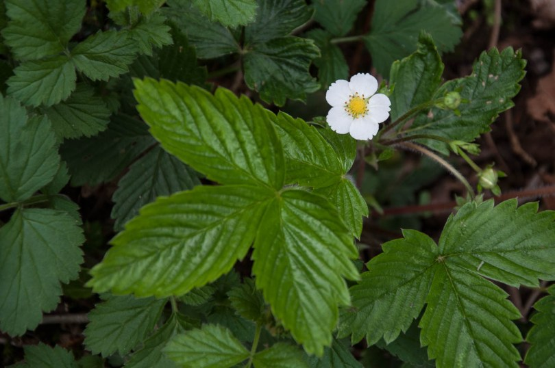 A blooming wild strawberry - Laghi, Veneto, Italy - www.rossiwrites.com