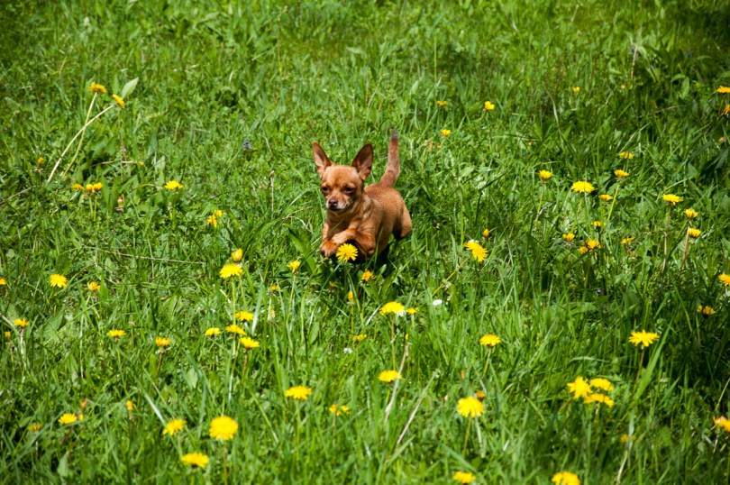 A doggie in the dandelions - Laghi, Veneto, Italy - www.rossiwrites.com