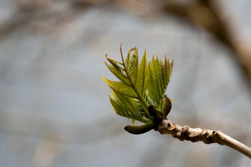 A new walnut leaf - Laghi, Veneto, Italy - www.rossiwrites.com