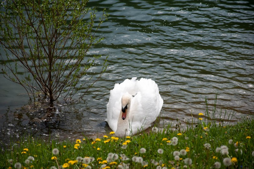 Swan and dandelions - Laghi, Veneto, Italy - www.rossiwrites.com
