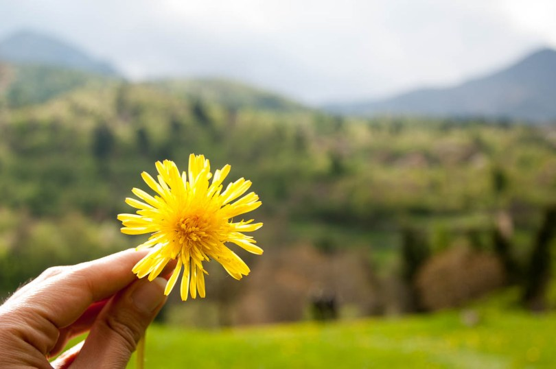 Yellow dandelion - Laghi, Veneto, Italy - www.rossiwrites.com