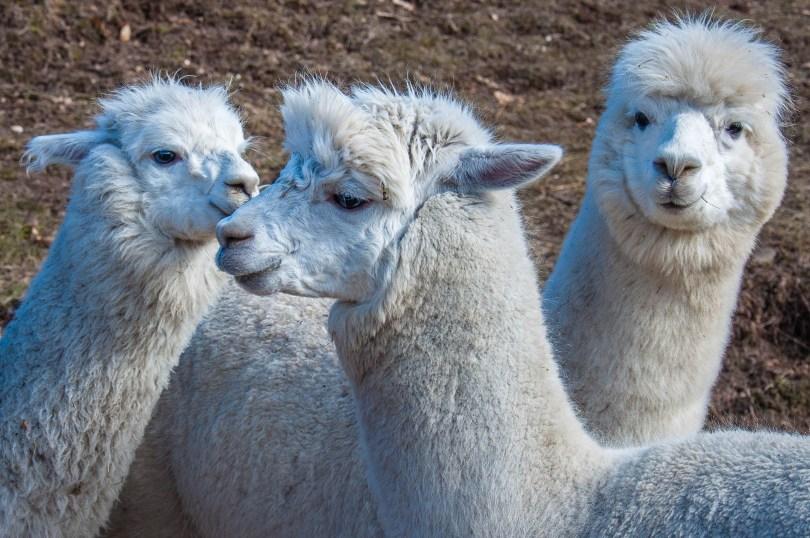 Alpacas in Maso Eden - Trentino, Italy - rossiwrites.com