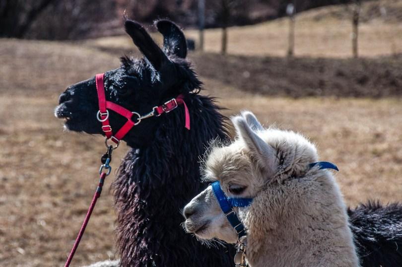 A black lama and a white alpaca - Maso Edin Bio Farm - Trentino, Italy - www.rossiwrites.com