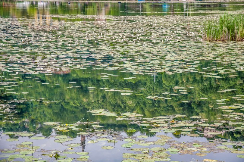 Water reflections among the water lilies - Lake Fimon, Arcugnano, Vicenza, Veneto, Italy - www.rossiwrites.com