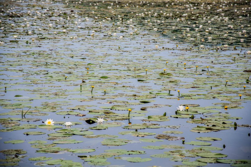 White and yellow water-lilies - Lake Fimon, Arcugnano, Vicenza, Veneto, Italy - www.rossiwrites.com