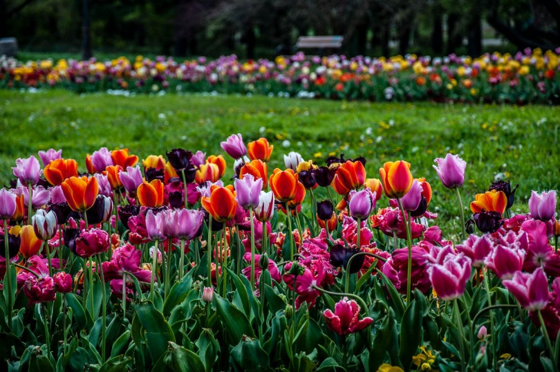 Tulips in the Sea Garden - Varna, Bulgaria - www.rossiwrites.com