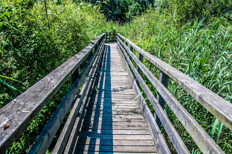 Wooden walkway surrounded by tall vegetation - Oasi Stagni di Casale, Vicenza, Italy - www.rossiwrites.com