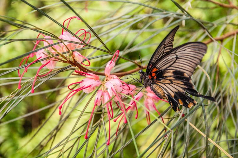 Butterfly with pink flowers - Butterfly House, Oasi Rossi - Santorso, Italy - www.rossiwrites.com