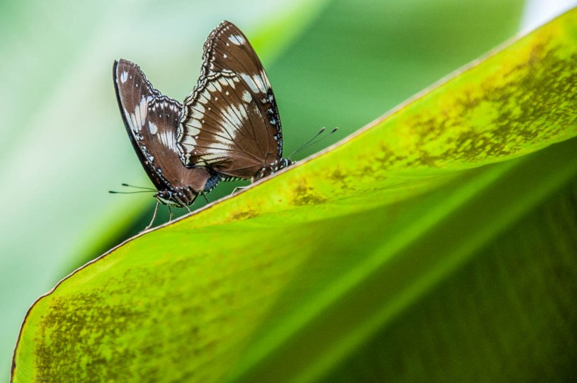 Coupled butterflies - Butterfly House, Oasi Rossi - Santorso, Italy - www.rossiwrites.com