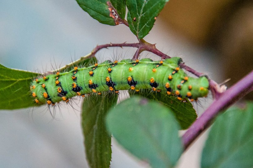 Hairy caterpillar- Butterfly House, Oasi Rossi - Santorso, Italy - www.rossiwrites.com