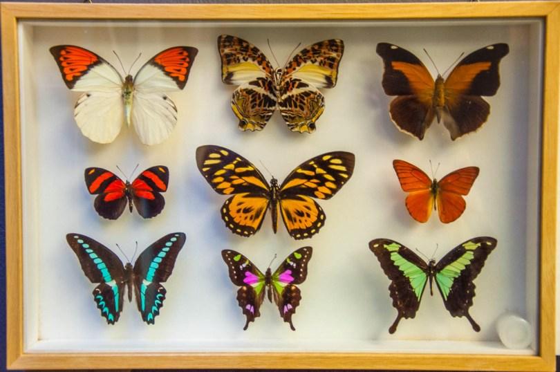 Pinned butterflies - Butterfly House - Bordano, Friuli-Venezia Giulia, Italy - www.rossiwrites.com