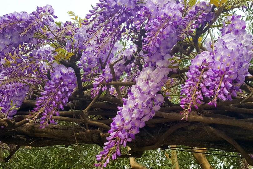 Purple wisteria - Vicenza, Veneto, Italy - www.rossiwrites.com