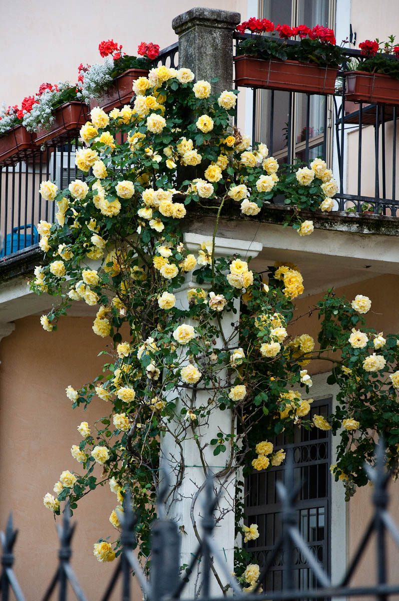 Rose bush enveloping a balcony - Vicenza, Veneto, Italy - rossiwrites.com