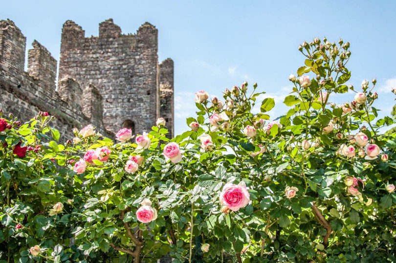 Roses in bloom in the Public Gardens - Carrara Castle - Este, Veneto, Italy - rossiwrites.com