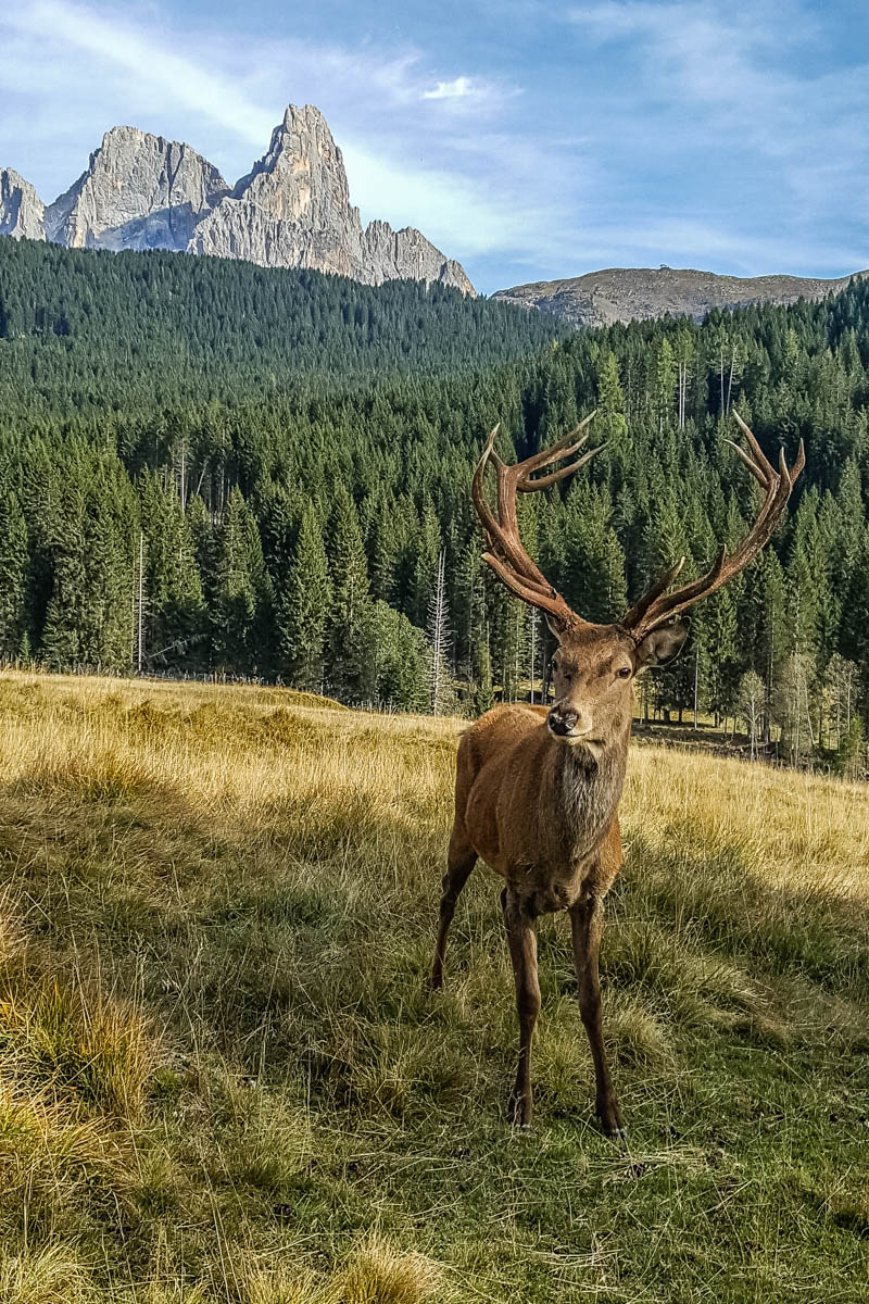 Deer in Paneveggio - The Violins' Forest - Dolomites, Trentino, Italy - rossiwrites.com