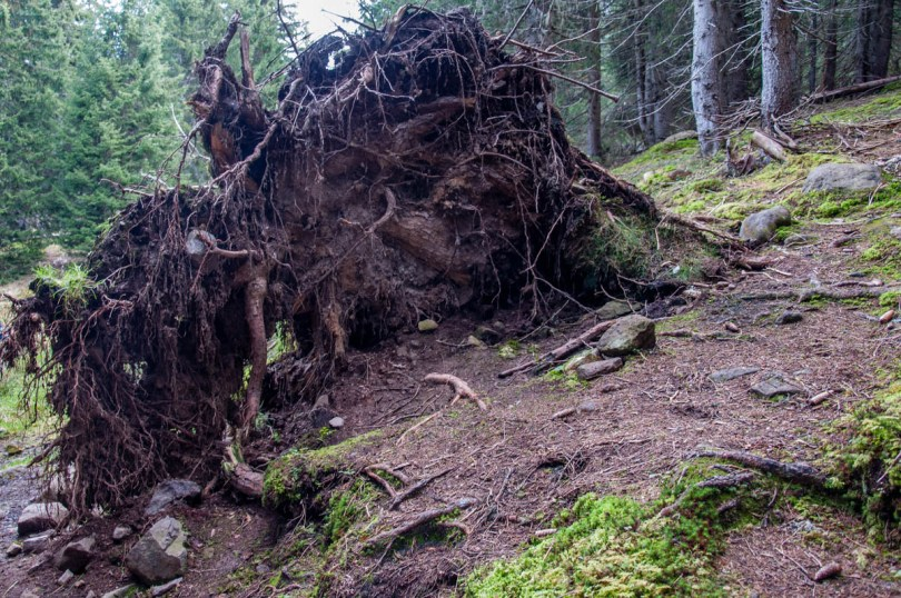 Fallen red spruce tree - Paneveggio - The Violins' Forest - Dolomites, Trentino, Italy - rossiwrites.com