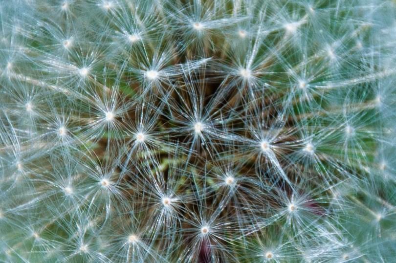 Gorgeous dandelion - Casare Asnicar - Sentiero dei Grandi Alberi - Province of Vicenza, Veneto, Italy - rossiwrites.com