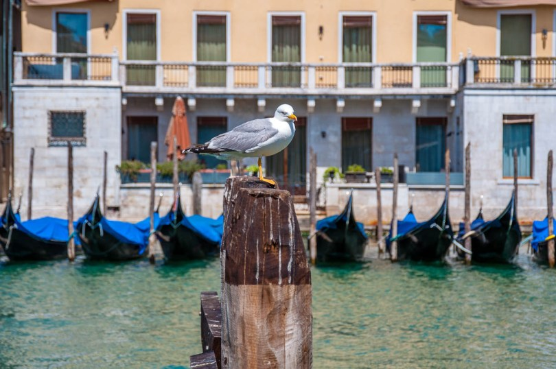 Seagull with gondolas - Venice, Italy - rossiwrites.com