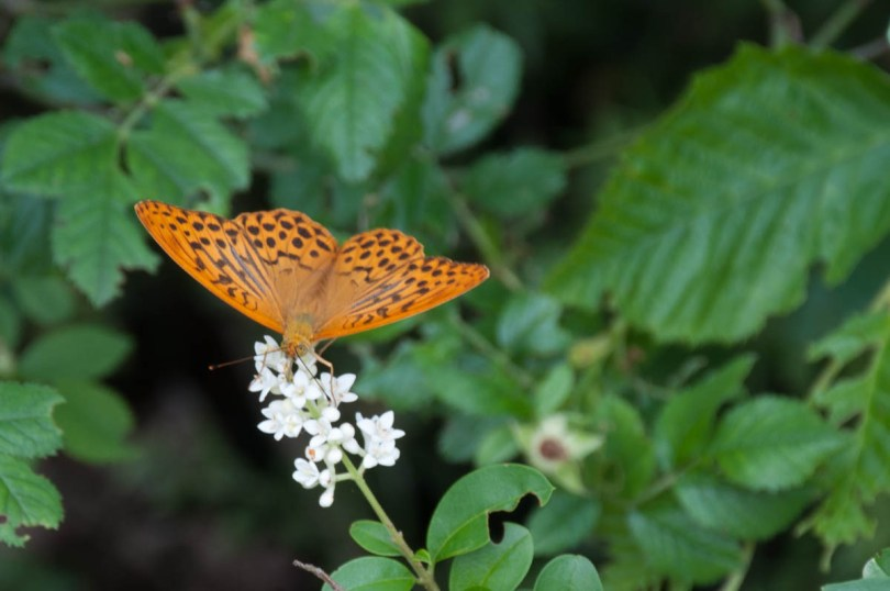 Brown butterfly - Rocca di Garda, Lake Garda, Italy - rossiwrites.com