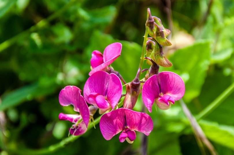 Pink wildflowers - Rocca di Garda, Lake Garda, Italy - rossiwrites.com