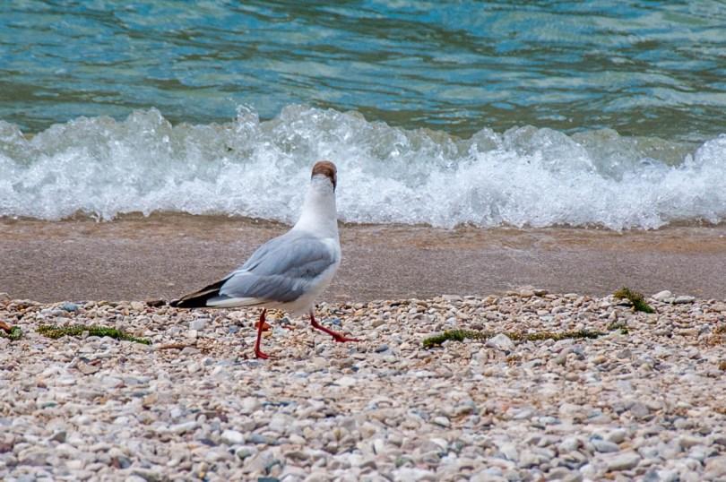 A seagull walking on the beach - Navene, Lake Garda, Veneto, Italy - rossiwrites.com