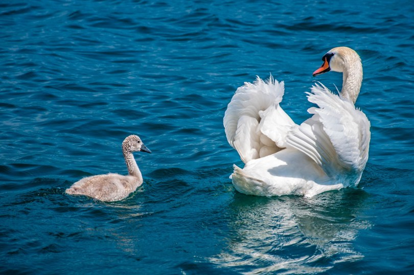 Swans on Lake Garda, Italy - rossiwrites.com