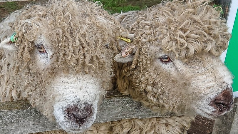 Cuddly sheep - Kent Life - Maidstone, Kent, England - rossiwrites.com