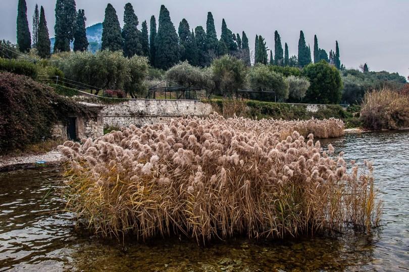 A tuft of reeds - Punta di San Vigilio - Lake Garda, Italy - rossiwrites.com
