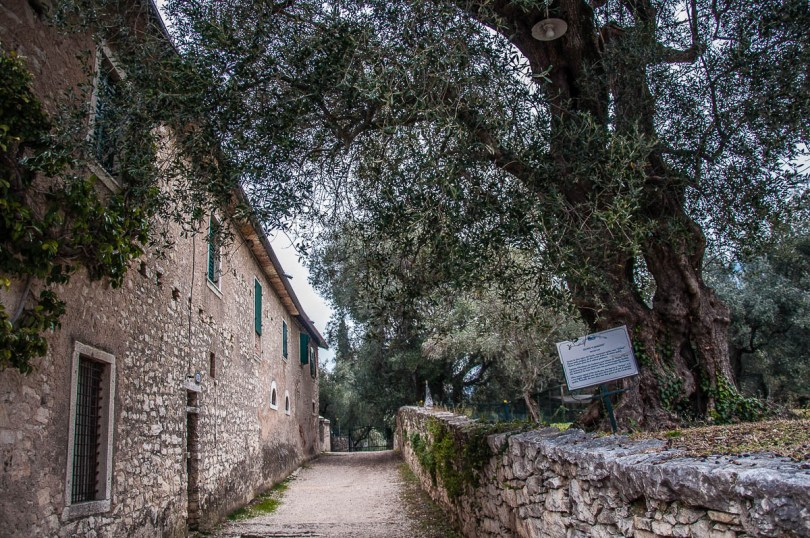 The 600 years old olive tree - Punta di San Vigilio - Lake Garda, Italy - rossiwrites.com
